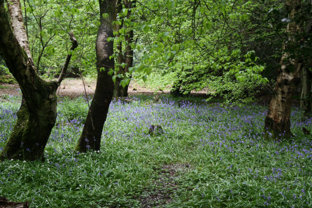 BLUEBELLS ON BEDELANDS